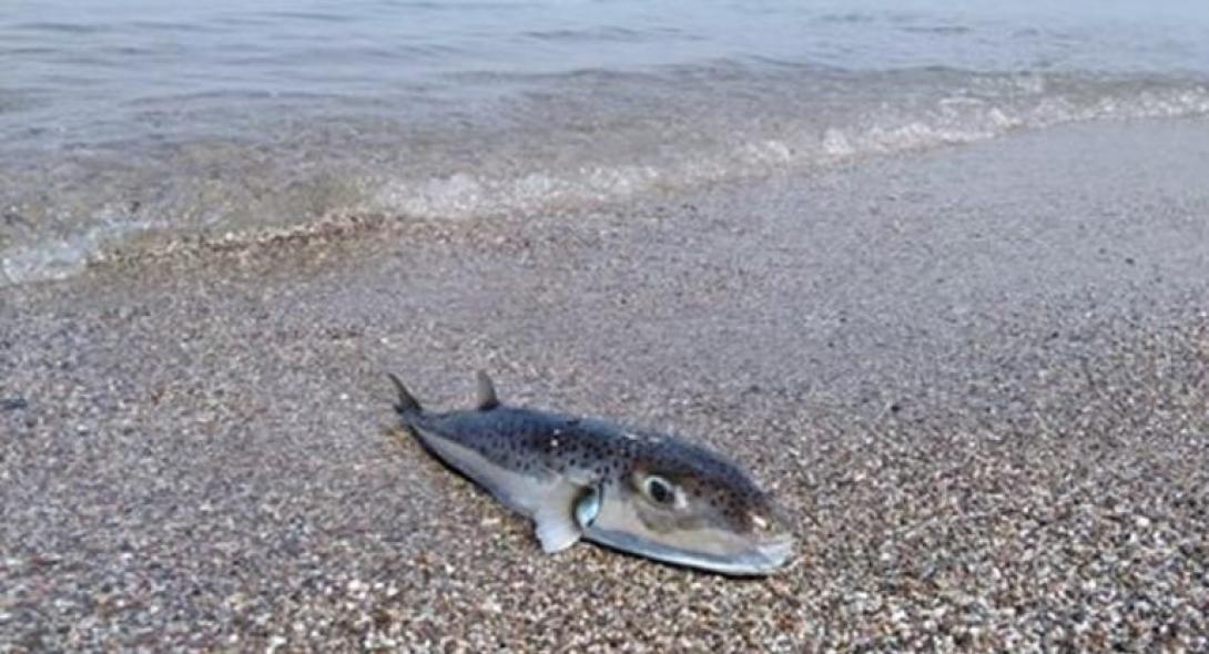 Λαγοκέφαλος... τέρας ξεβράστηκε σε παραλία της Κρήτης