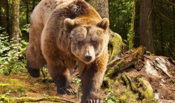 Πτολεμαΐδα: Μια αρκούδα πήρε στο κυνήγι έναν άνδρα που έκανε ιππασία
