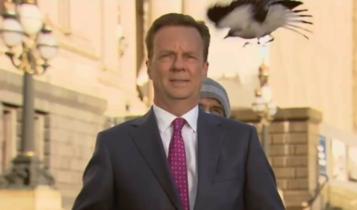 Δημοσιογράφος στην Αυστραλία δέχεται... επίθεση από πουλί σε ζωντανή μετάδοση (VIDEO)