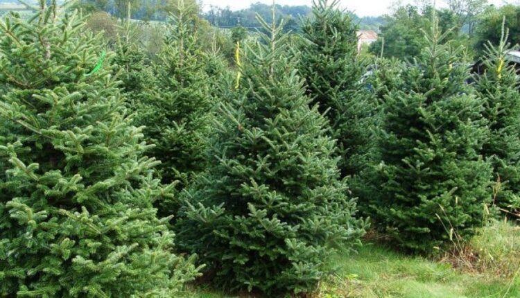 Αλαλούμ με τα χριστουγεννιάτικα δέντρα: Κόβουν έλατα, αλλά δεν ξέρουν αν θα τα πουλήσουν