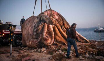 ΣΟΚ: Νεκρή φάλαινα στον Πειραιά