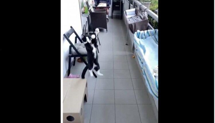 Γάτα κάνει κοντρόλ με το… στήθος υπό τον ύμνο του Champions League (VIDEO)