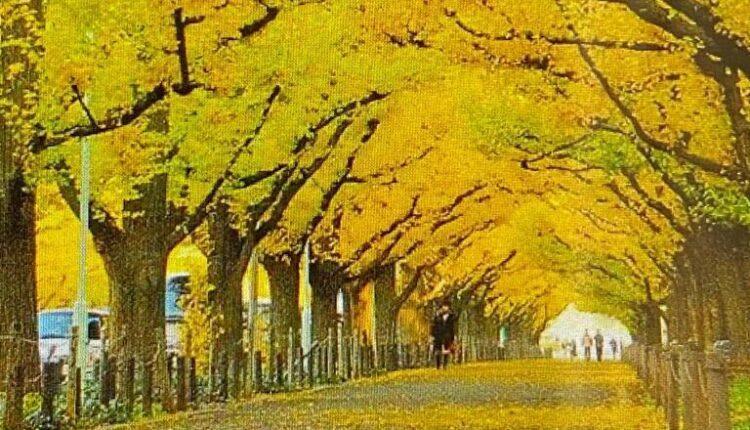 «Αγιά Σοφιά-OPAP Arena»: Κίτρινα δένδρα παντού στον εξωτερικό χώρο!